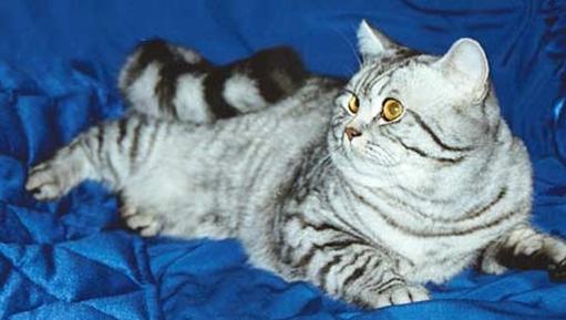 Британская короткошерстная кошка О ПОРОДЕ.